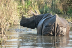 One-Horned-Rhino-in-Chitwan-National-Park
