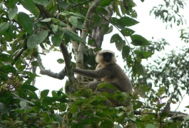 Monkeys in the Forests of Chitwan National Park