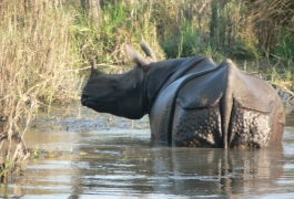 One-Horned Rhino in Chitwan National Park