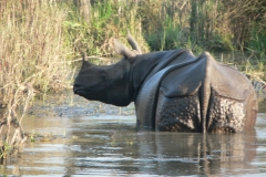 One-Horned-Rhino-in-Chitwan-National-Park-min