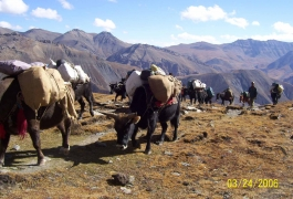Yaks,-a-Mode-of-Transport-in-the-Himalayas